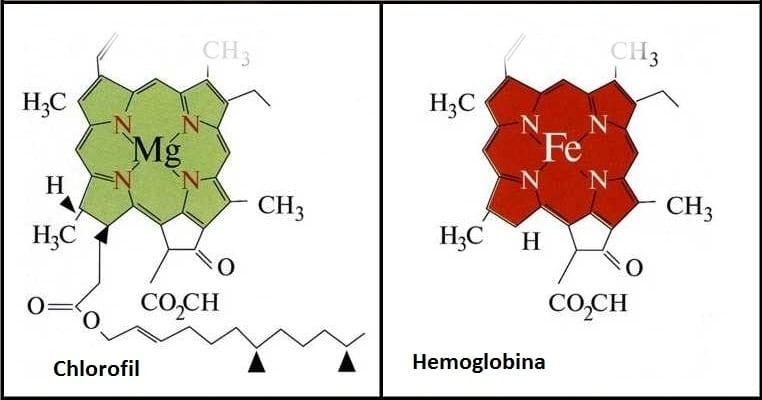 chlorofil_hemoglobina